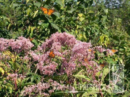 Monarch butterflies feasting on Joe Pye Weed flowers